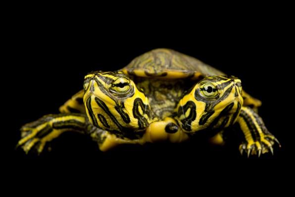 tartaruga-a-due-teste-foto