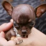 Chihuahua-cane-piu-piccolo-del-mondo-04
