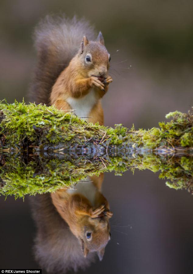 scoiattolo-rosso-animali-foto-01