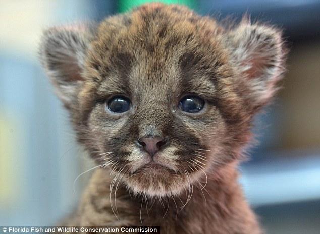 La baby pantera di appena un chilo trovata quasi for Foto bellissime