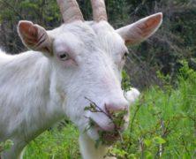 Nuove ricette anticrisi: usare le capre come giardinieri