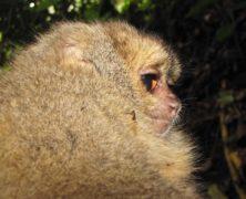Scoperta una nuova specie di scimmia in Perù