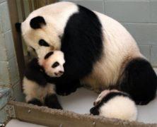 Mamma panda strapazza di coccole i suoi due cucciolotti: le immagini
